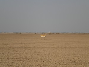 Indian Wild Ass on the Little Rann of Kutch